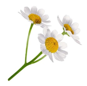 Tazo Website Chamomile Ingredient