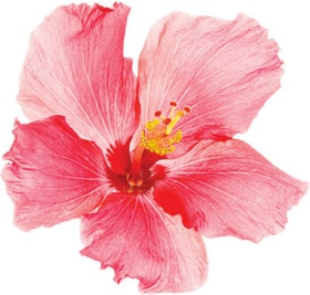Tazo Website Hibiscus Ingredient