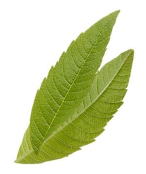 Tazo Website Lemon Verbena Ingredient
